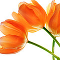 Charline Xia - Three Orange Tulip...