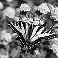 Jennie Marie Schell - Tiger Swallowtail...