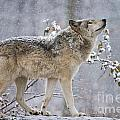 World Wildlife Photography - Timber Wolf Pictures 1401