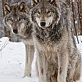 World Wildlife Photography - Timber Wolf Pictures 76