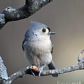 Charles Trinkle - Tufted Titmouse