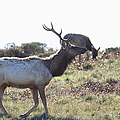 Tules Elks Of Tomales Bay California - 7d21199 by Wingsdomain Art and Photography