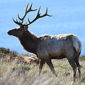 Tules Elks Of Tomales Bay California - 7d21218 by Wingsdomain Art and Photography