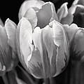 Jennie Marie Schell - Tulip Flowers Black and...