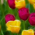 Gary Gingrich Galleries - Tulips-6768-Fractal