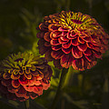 Julie Palencia - Two Magellan Zinnias