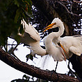 David Lunde - Two Snowy Egrets in a...