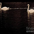 Christie Morgans - Two Swans