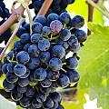 Vineyard Grapes by Charmian Vistaunet