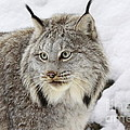 Inspired Nature Photography By Shelley Myke - Watchful Canadian Lynx