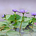 Matthew Schwartz - Water Lilies of Vietnam