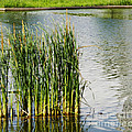 Luther   Fine Art - Water Plants -  Reed...