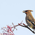 Chris Smith - Waxwing