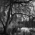 Weeping Willow Tree by Ian Barber
