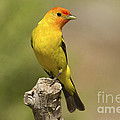 Sharon Ely - Western Tanager