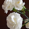 John Tidball  - White Carnations