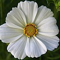 Carol Welsh - White Cosmos Flower
