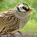 Debbie Portwood - White Crowned Sparrow I