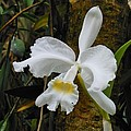 Kay Gilley - White Orchid 2