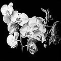 Erik Brede - White Orchid - Black and...