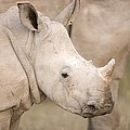 White Rhinoceros Calf by Science Photo Library