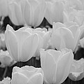 Jennifer Lyon - White Tulips B/w