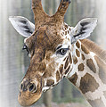 Linsey Williams - Wildlife Giraffe
