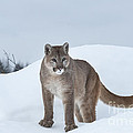Sandra Bronstein - Winter Mountain Lion