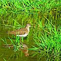 MTBobbins Photography - Solitary Sandpiper