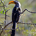 Pravine Chester - Yellow Billed Hornbill