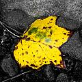 Shelby  Young - Yellow Leaf