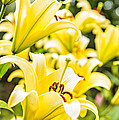 M and L Creations - yellow Lillies