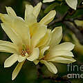 Living Color Photography Lorraine Lynch - Yellow Magnolia