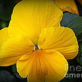 Photographic Art and Design by Dora Sofia Caputo - Yellow Pansy