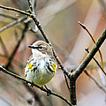 Christina Rollo - Yellow Rumped Warbler...