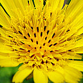 Christina Rollo - Yellow Salsify