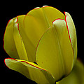 Debbie Oppermann - Yellow Tulip Outlined In...