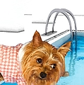 Liane Wright - Yorkshire Terrier - This...