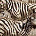 Chris Scroggins - Zebra Stripes Galore