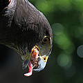 James Hill - Harris Hawk Feeding