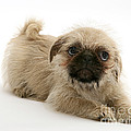 Pugzu And Pug Puppies by Jane Burton