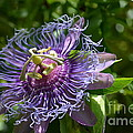 Carol McGunagle - Purple Passion Flower