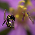 Zoe Ferrie - Yellow Faced Bee