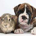 Boxer Puppy And Guinea Pig by Mark Taylor