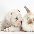 Boxer Puppy And Young Fluffy Rabbit by Mark Taylor
