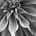 Bruce Bley - Dahlia in Black and White