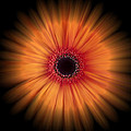 Zoe Ferrie - Orange Gerbera Daisy on...