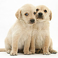 Labrador Retriever Puppies by Jane Burton