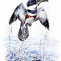 Christopher Cox - Belted Kingfisher