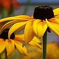 Bruce Bley - Black Eyed Susan Up Close